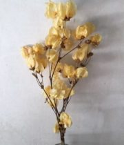 Dried Bougainvillea-apricot