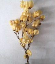 Dried Bougainvillea-apricot
