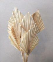 Dried Bleached Fan Palm Spears