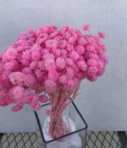 Dried Helichrysum-pink