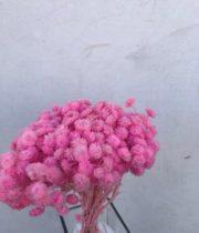 Dried Pink Helichrysum
