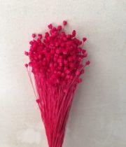 Dried Fuchsia Jazilda