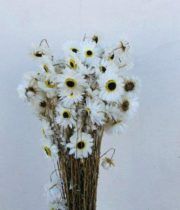 Dried Rodanthe-white