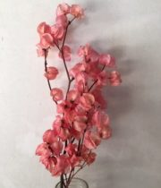Dried Bougainvillea-salmon