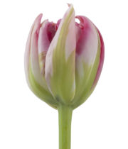 Pink Flash Point Double Tulips, 50 Stems (free Shipping)