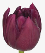 Tulip Double, World Bowl-50 Stems (free Shipping)