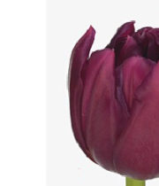 Purple World Bowl Double Tulips, 50 Stems (free Shipping)
