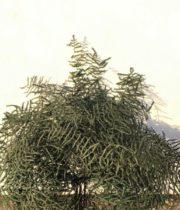 Dried Coral Leaf-dark Green