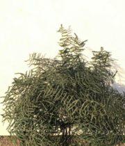 Dried Dark Green Coral Leaf