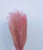 Dried Eulalia Aurea-light Pink