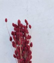 Dried Berry Phalaris
