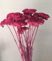 Dried Yarrow-fuchsia