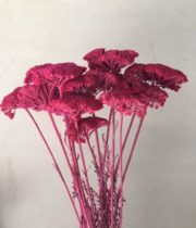 Dried Tinted Fuchsia Yarrow