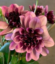 Dahlias, Creme De Cassis-bicolor