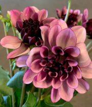 Bicolor Creme De Cassis Dahlias