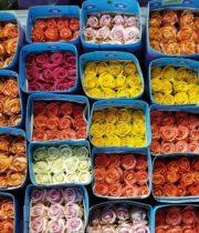 Premium Ecuadorian Roses (free Shipping)