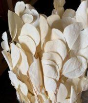 Dried Eucalyptus-bleached