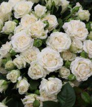 Rose Spray, Bridal Veil-CA