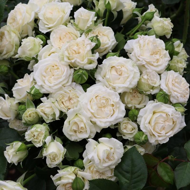 Bridal Veil Spray Roses