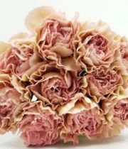 Carnations, Specialty-Creola-champagne Blush