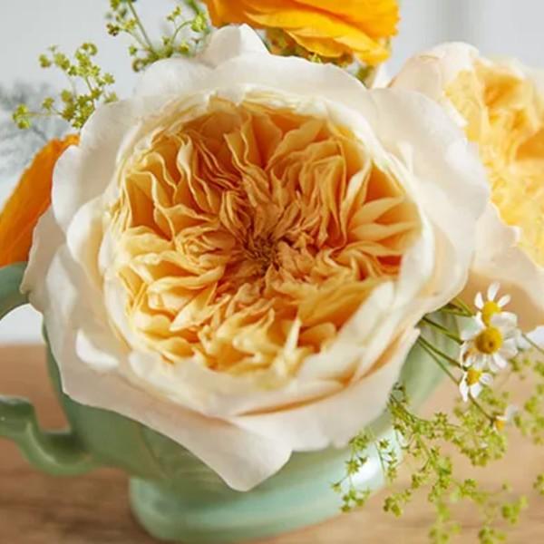 Effie Garden Rose