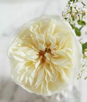 Rose Garden, Leonora/Ella-SA