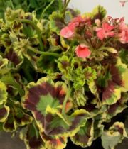 Geranium, Scented-green/red