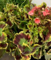Geranium, Scented-green/red