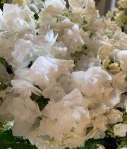 Hydrangea, Lacecap-white