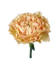 Carnations, Specialty-Lege Marrone-beige