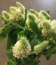 Trifolium, Frosty Feathers