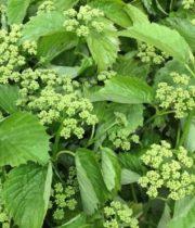 Viburnum, Spring Lace-green