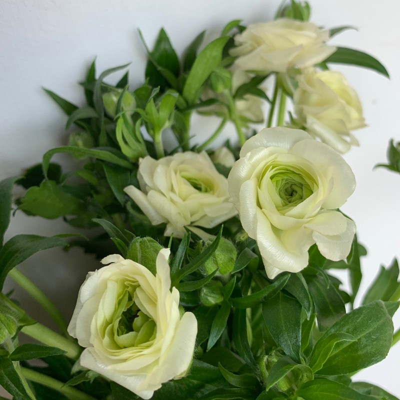 White Cream Butterfly Ranunculus
