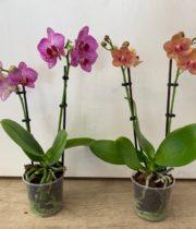 Phalaenopsis Plant, 3″ X12