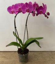 Phalaenopsis Plant, 6″ X6