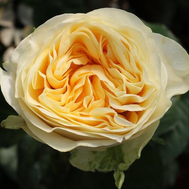 Buttercup Garden Rose