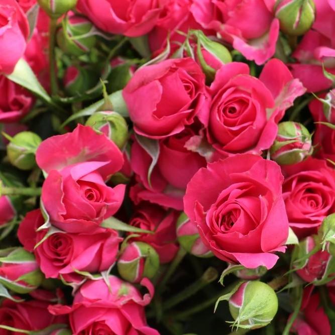 Cherry Colorosa Spray Rose