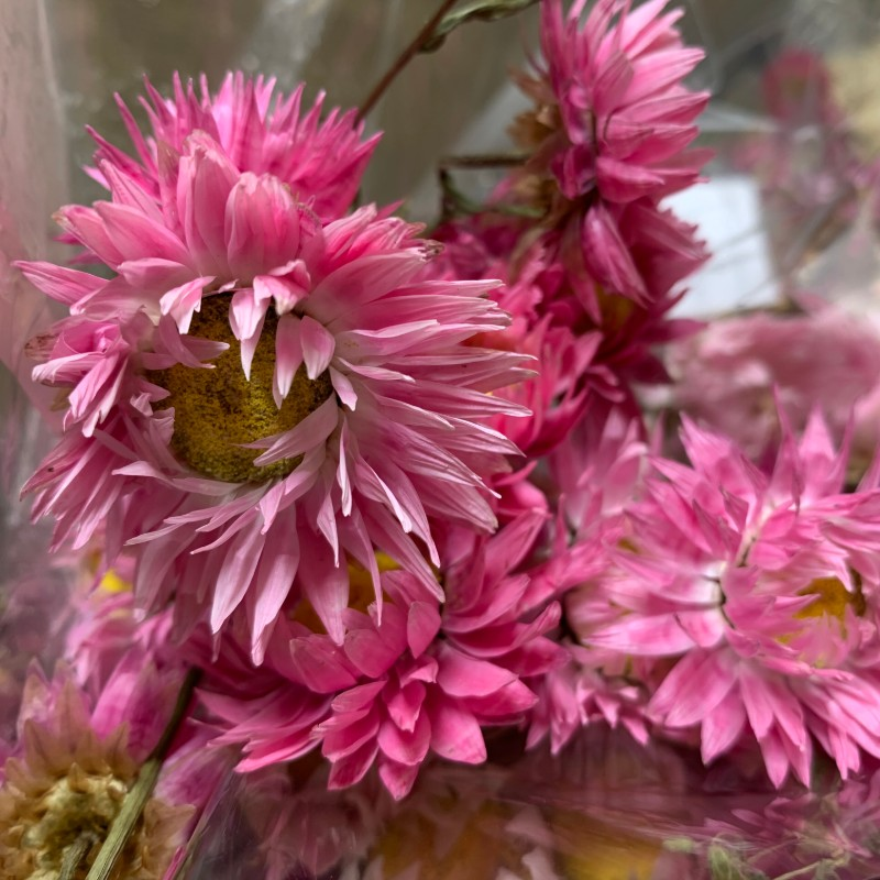 Dried Rodanthe natural pink