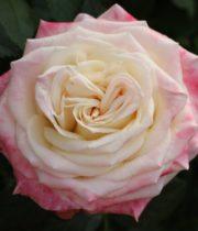 Rose Garden, Eden-CA