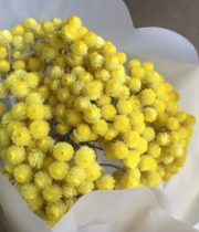 Dried Helichrysum-yellow