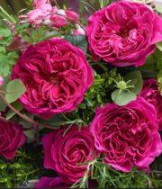 Rose Garden, Kate-SA