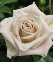 Rose, Menta-CA