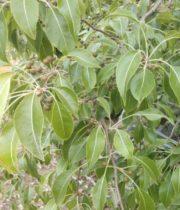 Mini Pear