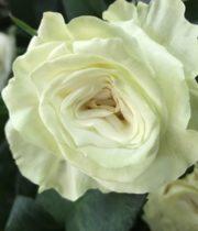 Rose, Mondial-CA