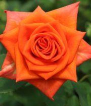 Rose, Naranga-CA