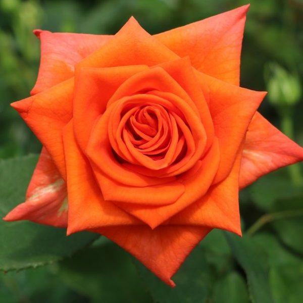 Naranga Rose
