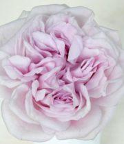 Rose Garden, Patchouli-CA