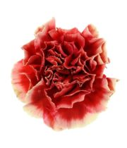 Carnations, Specialty-Piet-dark Coral