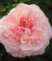 Rose Garden, Pink Fragrance-CA
