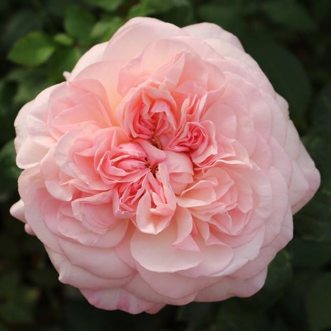 Pink Fragrance Rose